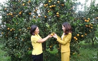 Cam Cao Phong: Hương vị đất Mường