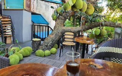 Cây mít sai trĩu quả trong quán cafe ở Tuyên Quang khiến dân tình tròn mắt