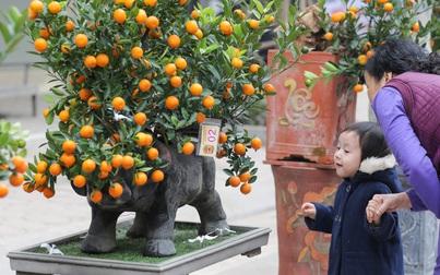 """""""Trâu cõng quất bonsai"""" giá tiền triệu vẫn hút khách"""