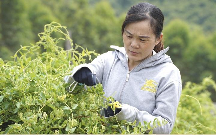 Phát triển cây dược liệu Kim ngân hoa giúp xóa đói giảm nghèo cho phụ nữ dân tộc thiểu số